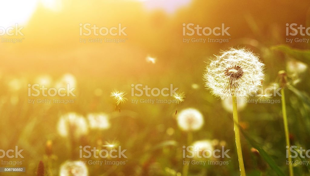 dandelion flower at sunset stock photo