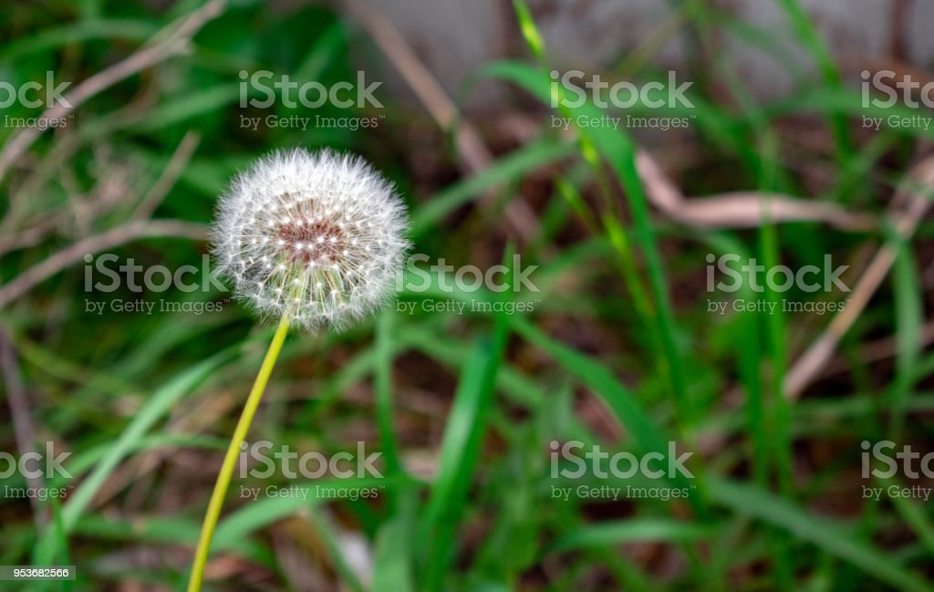 dandelion flower bulb stock photo