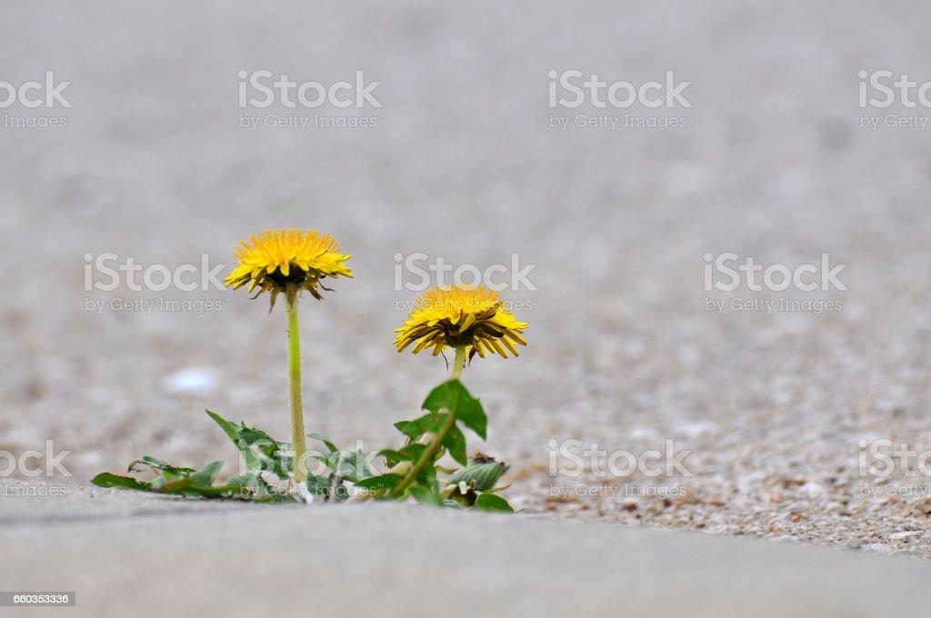 Löwenzahn Blume wächst zwischen Asphalt und Bordsteine. – Foto