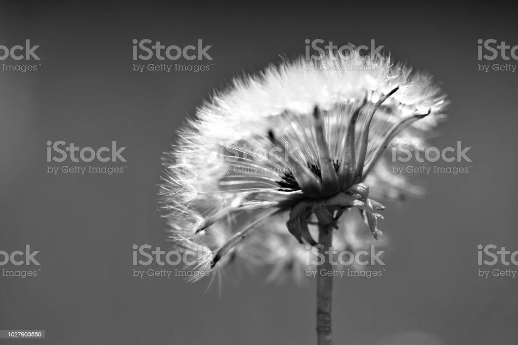 Resume De Nature Noir Et Blanc Tete De Fleur Pissenlit Photos Et
