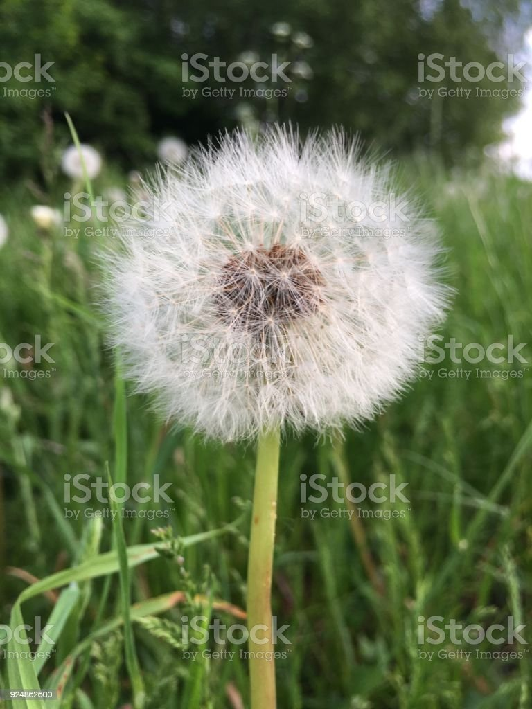Dandelion flower head stock photo