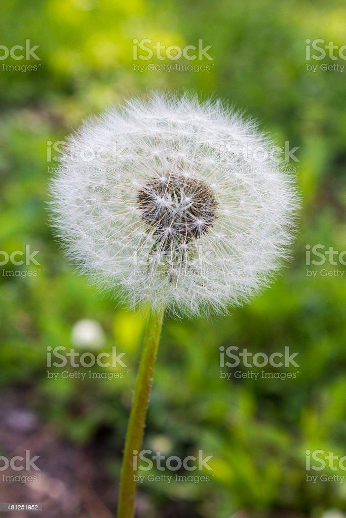 Dandelion Flower in Seed - Royalty-free 2015 Stock Photo