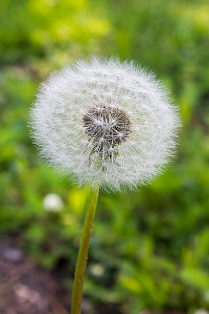 Dandelion Flower in Seed stock photo