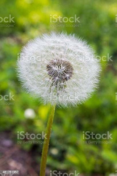 Dandelion Flower In Seed Stock Photo - Download Image Now
