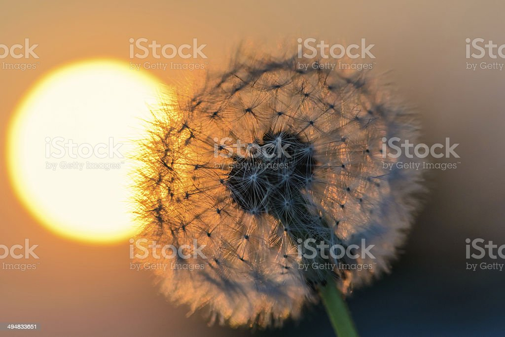 dandelion flower in the sun royalty-free stock photo