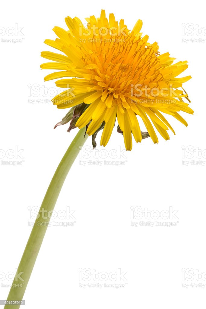 Dandelion flower isolated on white background cutout Lizenzfreies stock-foto