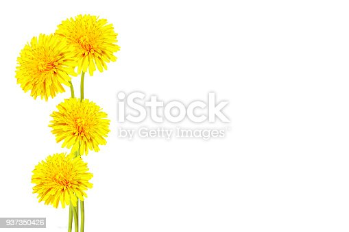 997750962 istock photo dandelion flower isolated on white background. 937350426