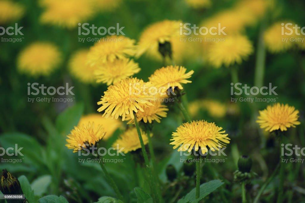 Dandelion flower meadow stock photo