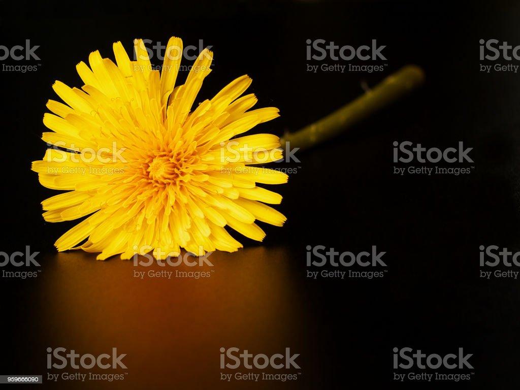 flor diente de León sobre fondo negro, espacio de copia - Foto de stock de Amarillo - Color libre de derechos