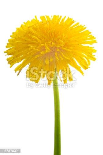 Fresh Yellow dandelion flower on green stem isolated on white background.