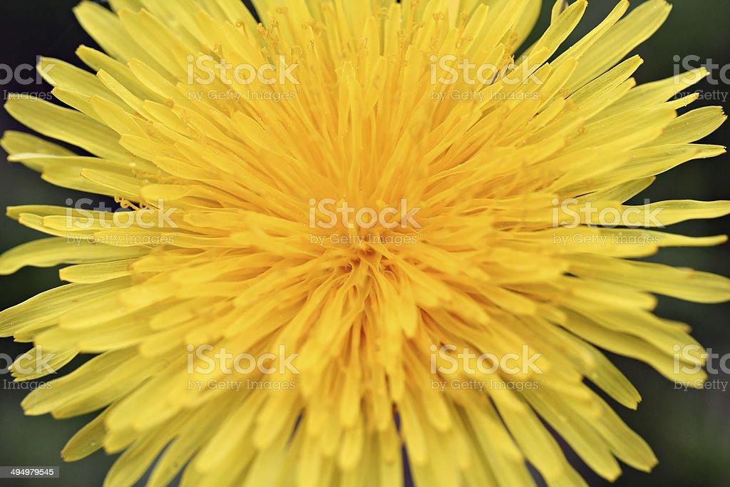 Dandelion flower, photo filter effect royalty-free stock photo