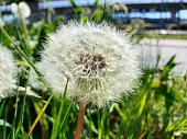 Dandelion on a wildflower meadow after blooming. The Image was captured during spring season.