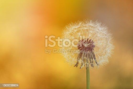 Close up of a dandelion flower