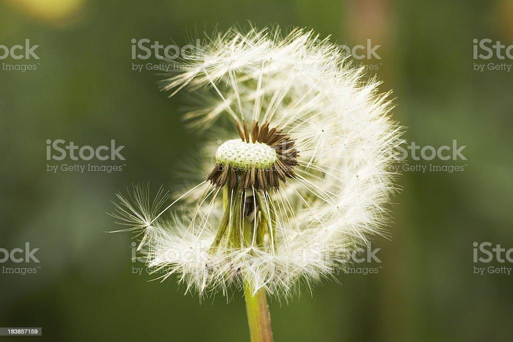 Dandelion flower royalty-free stock photo
