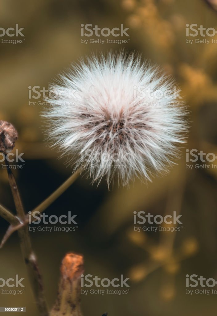 dandelion flower - Royalty-free Beauty In Nature Stock Photo