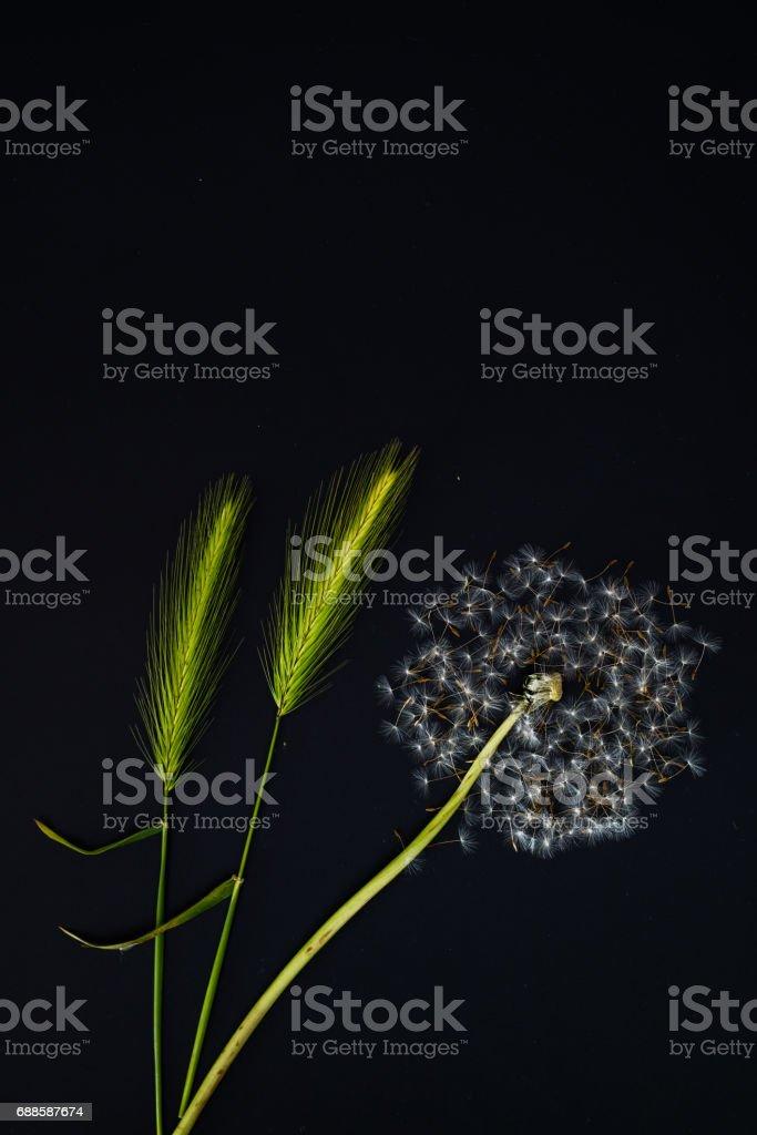 Dandelion flower seed dispersal scene stock photo
