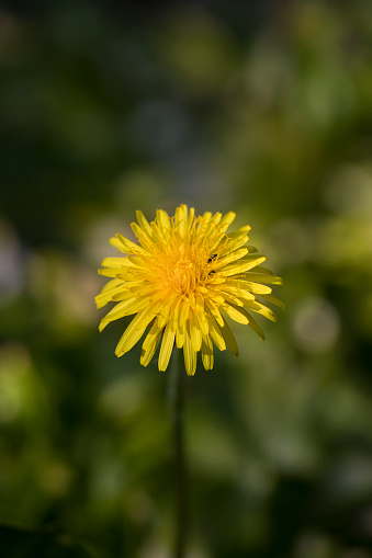 Dandelion flower with common pollen beetles Meligethes aeneus, in spring, England, United Kingdom