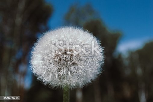 istock dandelion flower with seeds ball close up in nature background horizontal view 958975770
