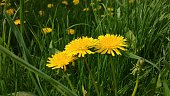 Dandelion flowers in grass