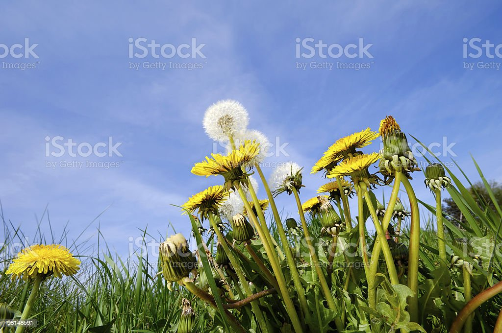 Dandelion flowers in nature royalty-free stock photo