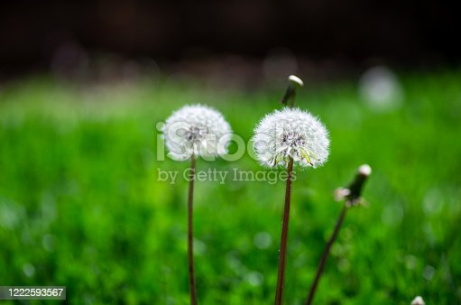 Dandelion flowers in the grass closeup, spring blossom macro abstract