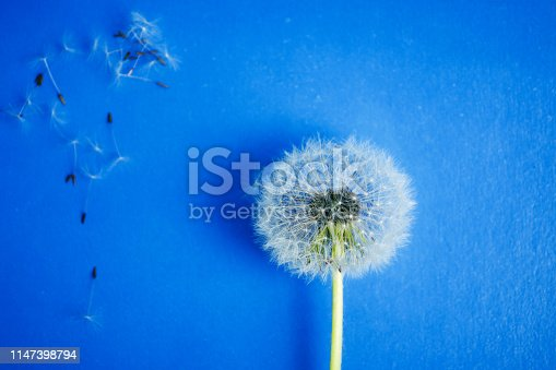 Dandelion flowers and seeds on blue background