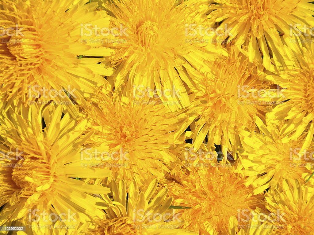 Dandelion flowers royalty-free stock photo