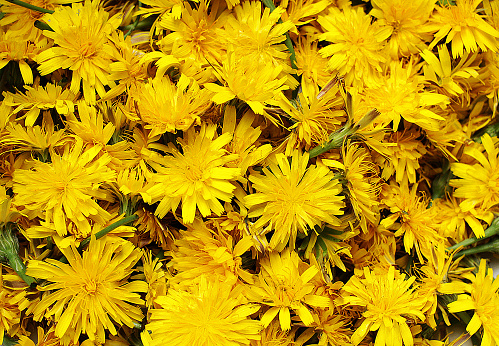 Collection of Dandelion flowers