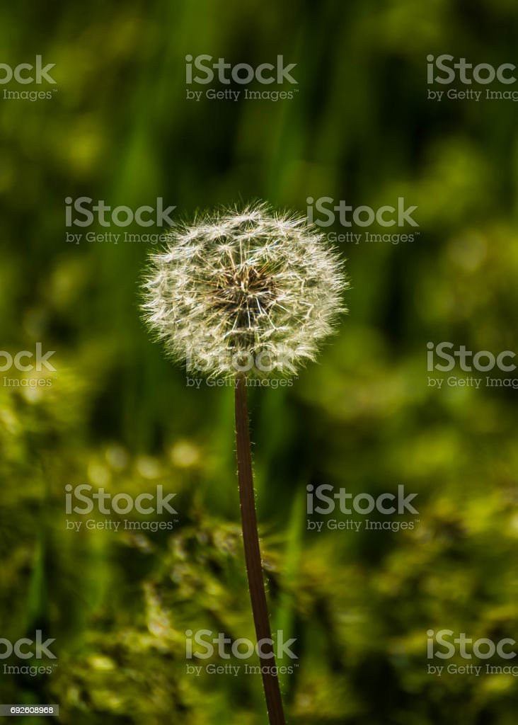 Dandelion fluff. Dandelion tranquil abstract closeup art background. Dandelion flower close up on natural background on summer or spring meadow. stock photo