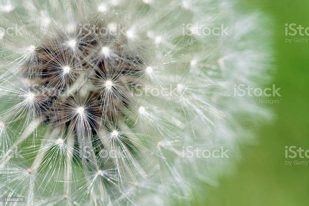 Dandelion fluffy seeds macro royalty-free stock photo
