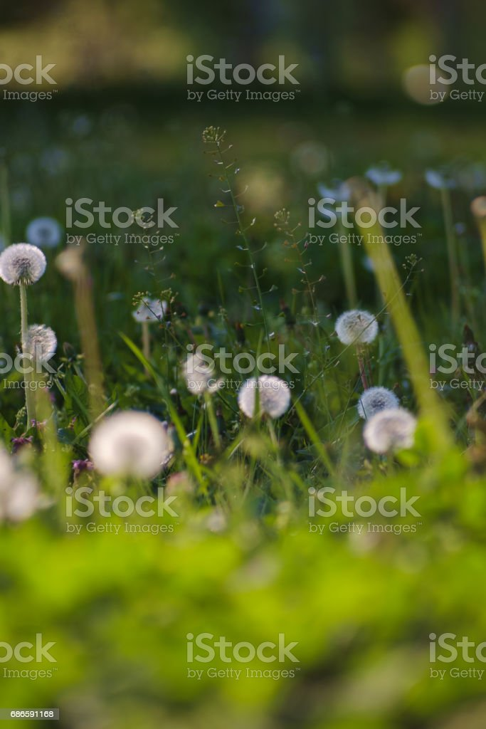 Dandelion green grass on spring meadow royalty-free stock photo