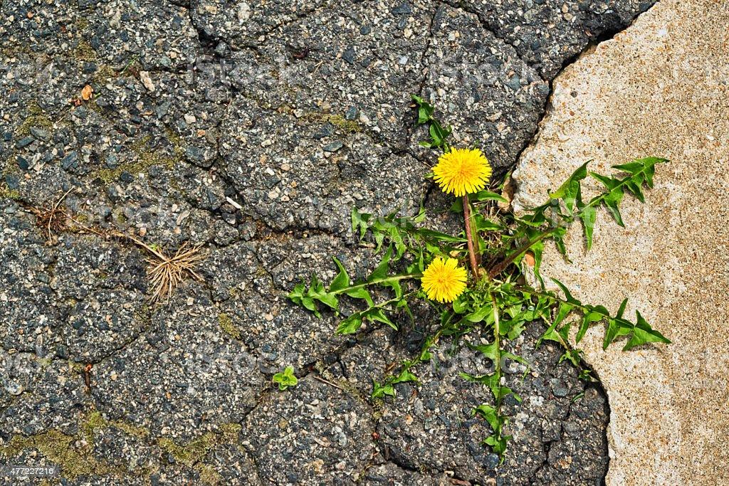 Löwenzahn wachsenden in Riss zwischen alten BETON UND asphalt – Foto