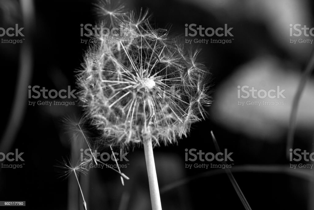 Dandelion head in the wind stock photo