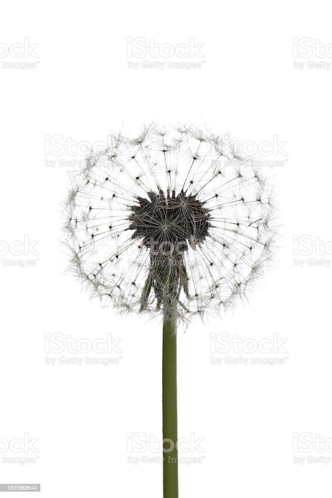 Dandelion head royalty-free stock photo