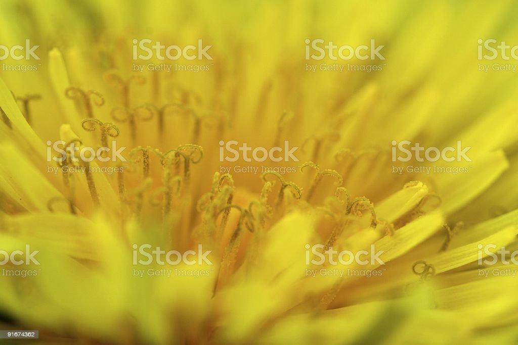 Dandelion Heart Detail royalty-free stock photo