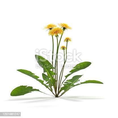 Dandelion herb on white - 3d rendered image of dandelion flower isolated on white background.