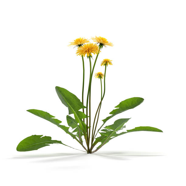 Dandelion herb on white stock photo
