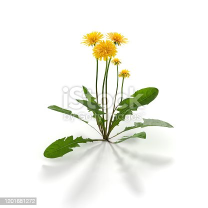 Dandelion herb on white - 3d rendered image of dandelion flower isolated on white background.