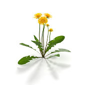 istock Dandelion herb on white 1201681272