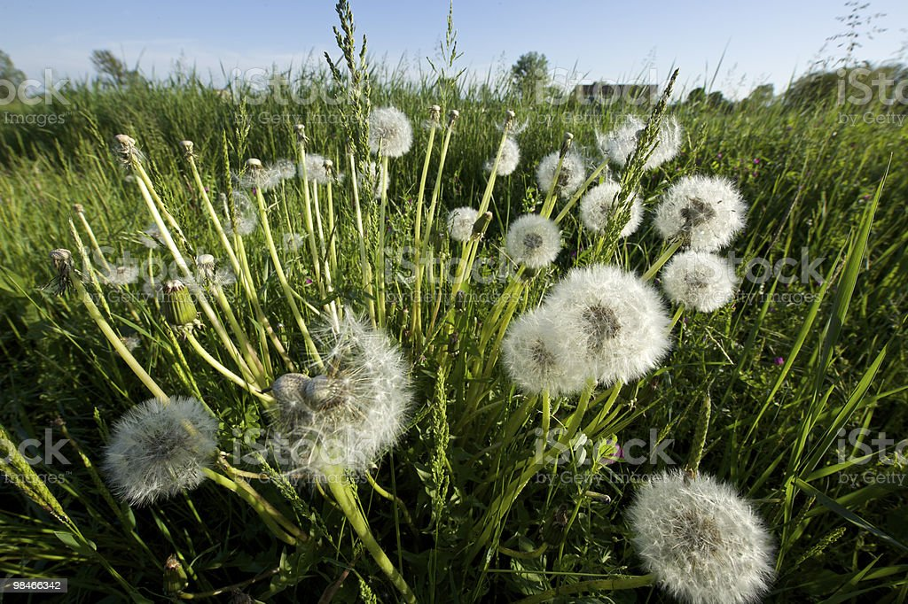 Dandelion in a meadow royalty-free stock photo