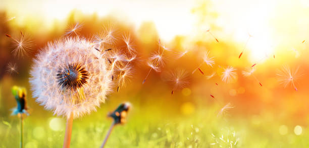 Dandelion In Field At Sunset - air And Blowing blowball In Field At Sunset - Seeds In Air Blowing springtime stock pictures, royalty-free photos & images