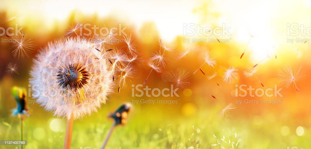 Pissenlit dans le champ au coucher du soleil-air et soufflant - Photo