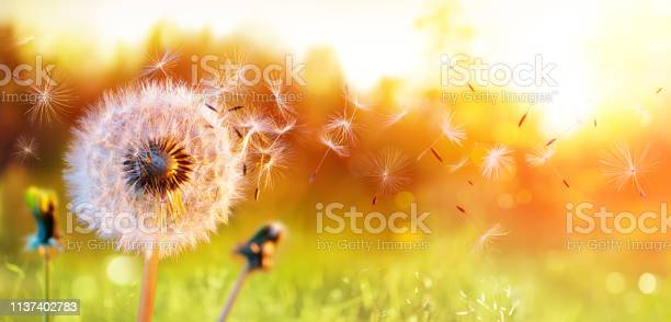 Photo of Dandelion In Field At Sunset - air And Blowing