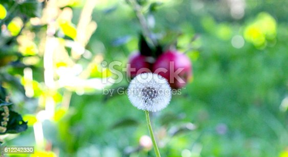 612242240 istock photo dandelion in front of a Ripe Apples 612242330