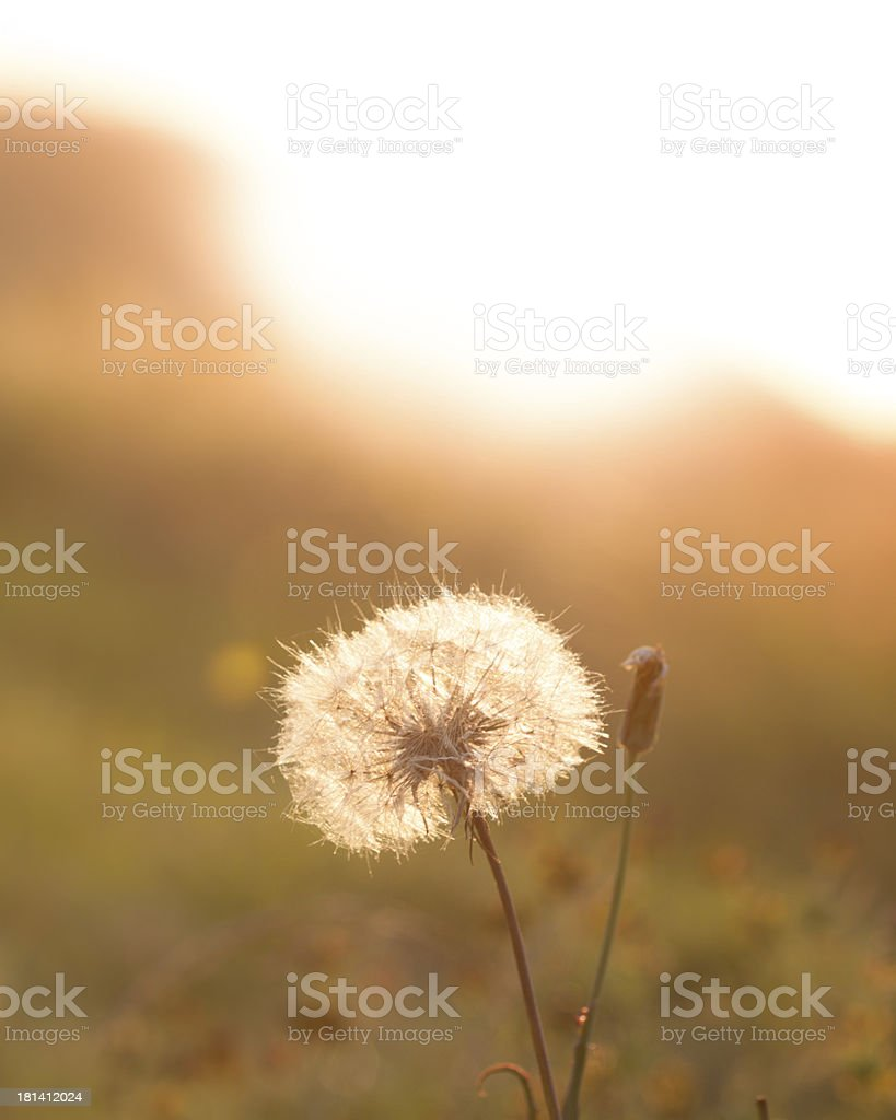 Dandelion in meadow during sunset. royalty-free stock photo