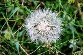 Dandelion, Flower, Plant, Seed, Single Flower