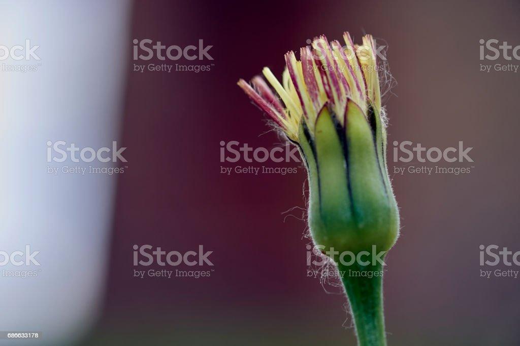 dandelion in springtime royalty-free stock photo