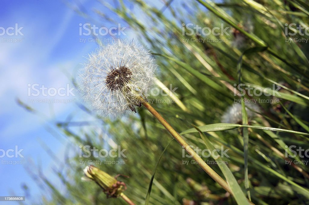 Dandelion in summer meadow royalty-free stock photo