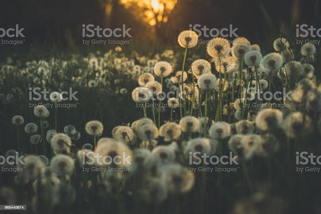 Dandelion in summer on a green meadow zbiór zdjęć royalty-free