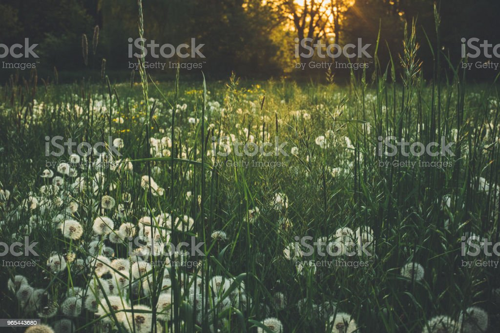Dandelion in summer on a green meadow royalty-free stock photo